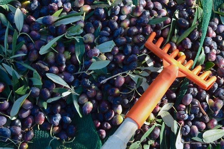 Rastrello per olive