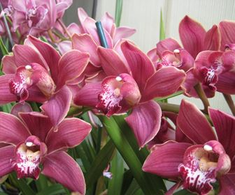 Cura Orchidea