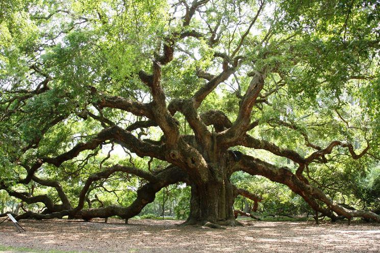 Enorme albero di rovere