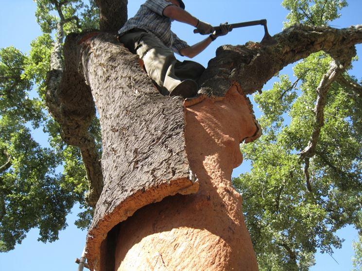 Distacco del sughero dal tronco