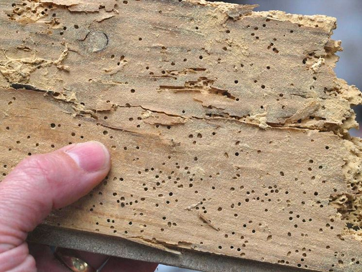 Una teca di legno infestata dai tarli