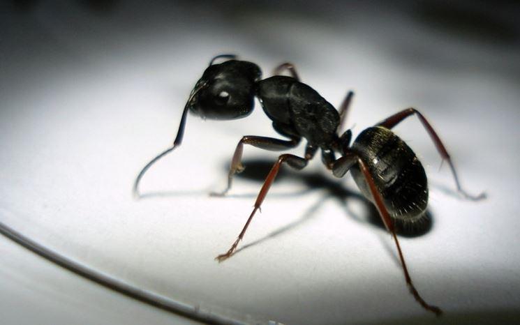 Esemplare di formica da appartamento