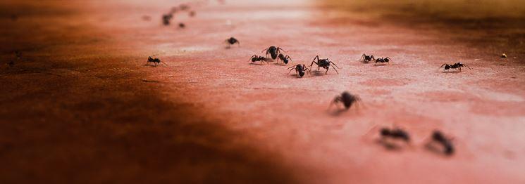 Formiche attirate dallo zucchero