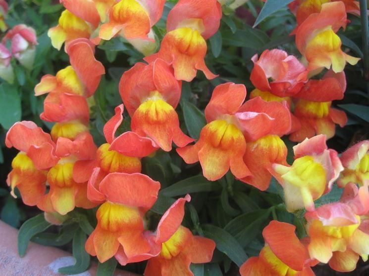 Splendide Bocche di leone color arancio