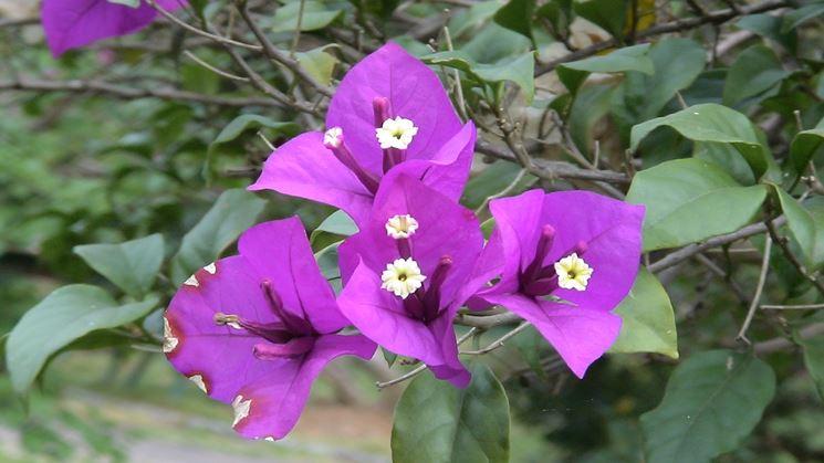 Esempio di fiore di bouganvillea