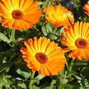 Fiori di calendula fiorita