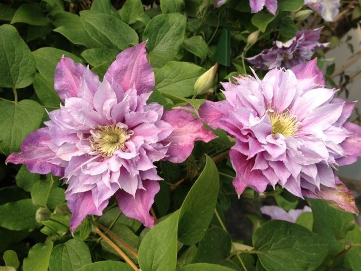 Bellissimi fiori di Clematis