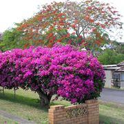 Pianta di bouganville in fiore