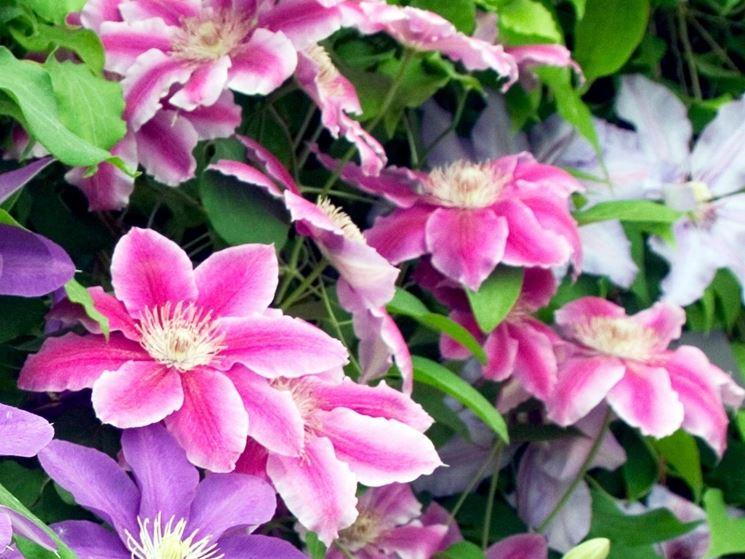 Fiore azzurro di Clematis
