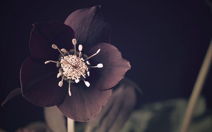 Fiore nero di Helloborus
