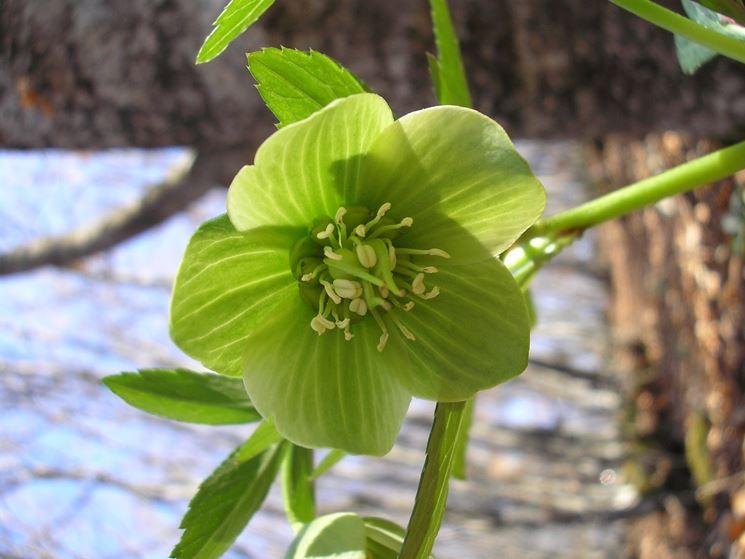 Fiore sbocciato di Helloborus