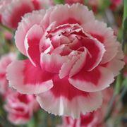 Esempio di fiore di garofano