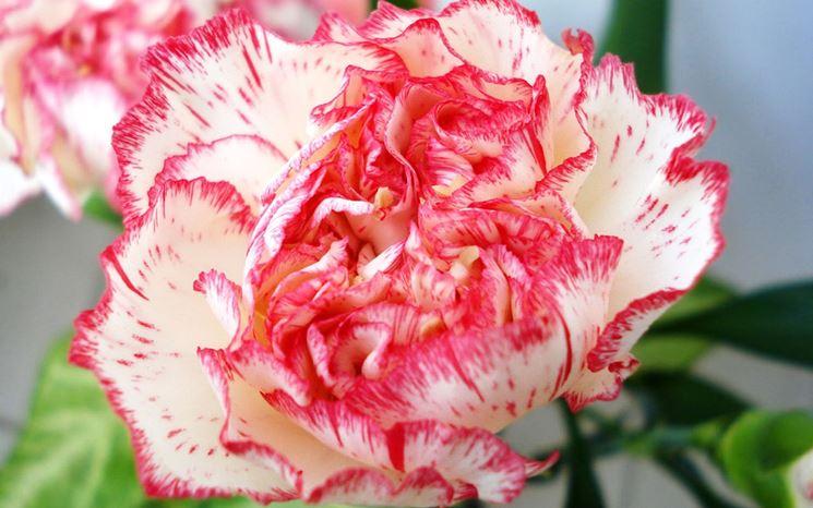 Fiore variegato di garofano