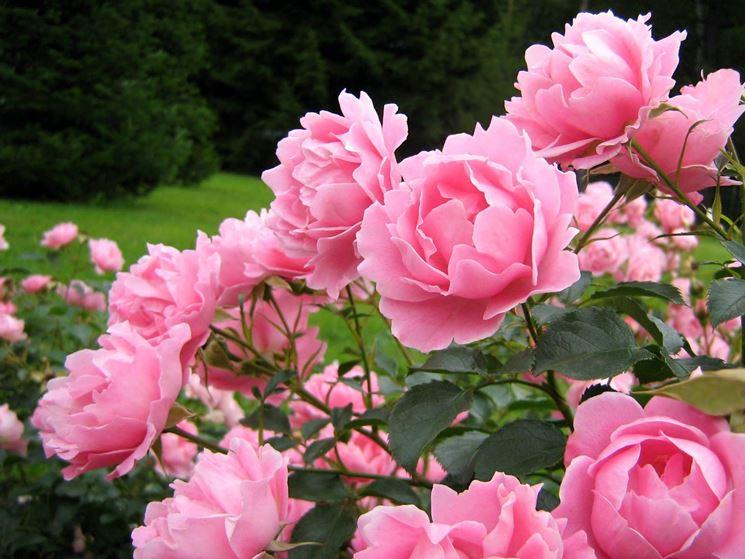 Pianta di garofani rosa