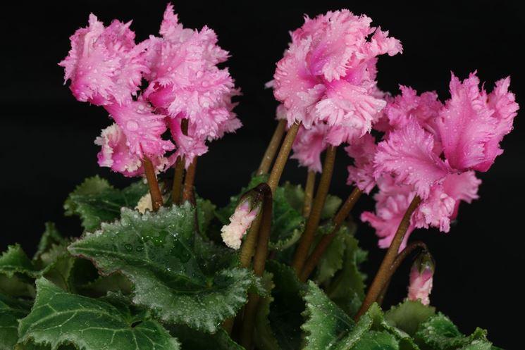 Esemplare di ciclamino fiorito