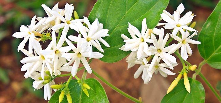 Alcuni fiori di gelsomino bianco
