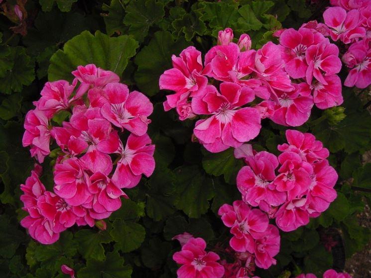 Esempio di geranio rosa