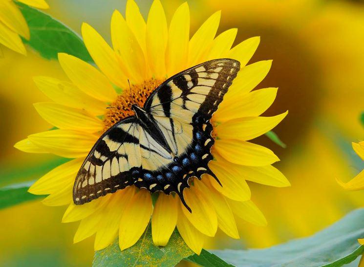 Farfalla amica del girasole