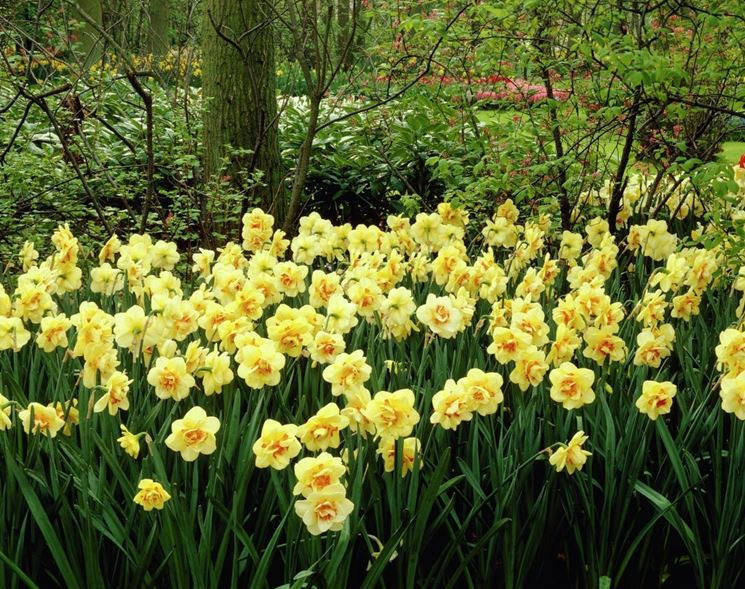 Narcisi coltivati in giardino