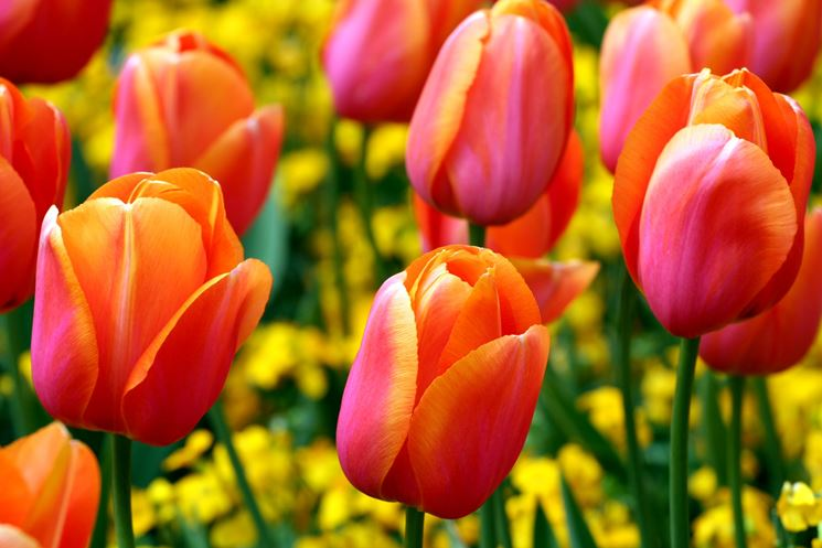 Tulipani fioriti dalle tonalità del rosso e del giallo