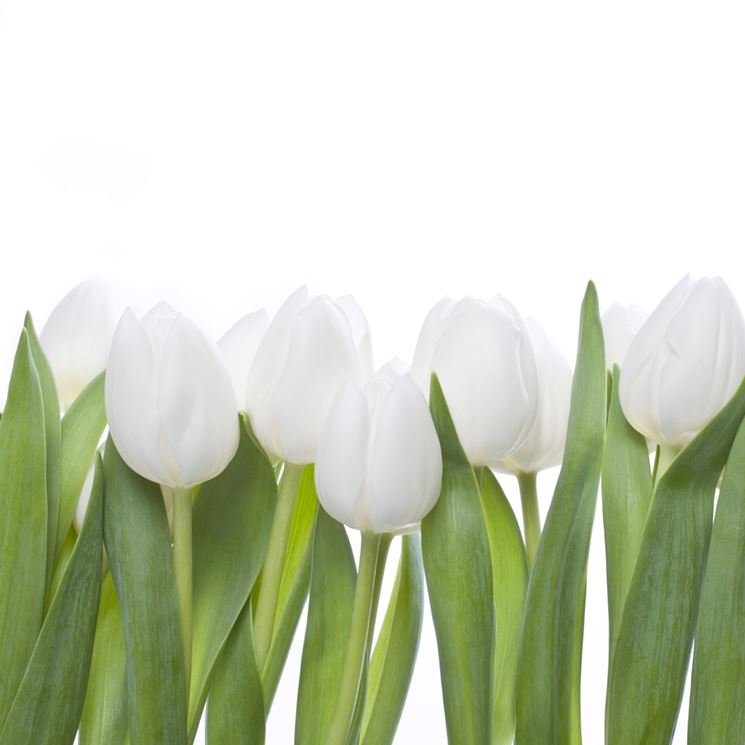 Fioritura di tulipani bianchi