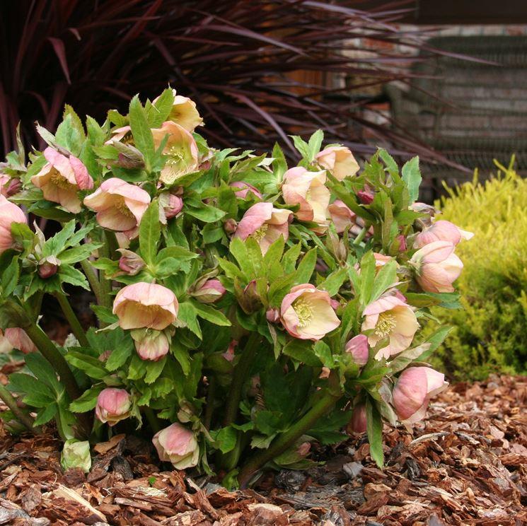 Coltivare l'Helleborus in giardino