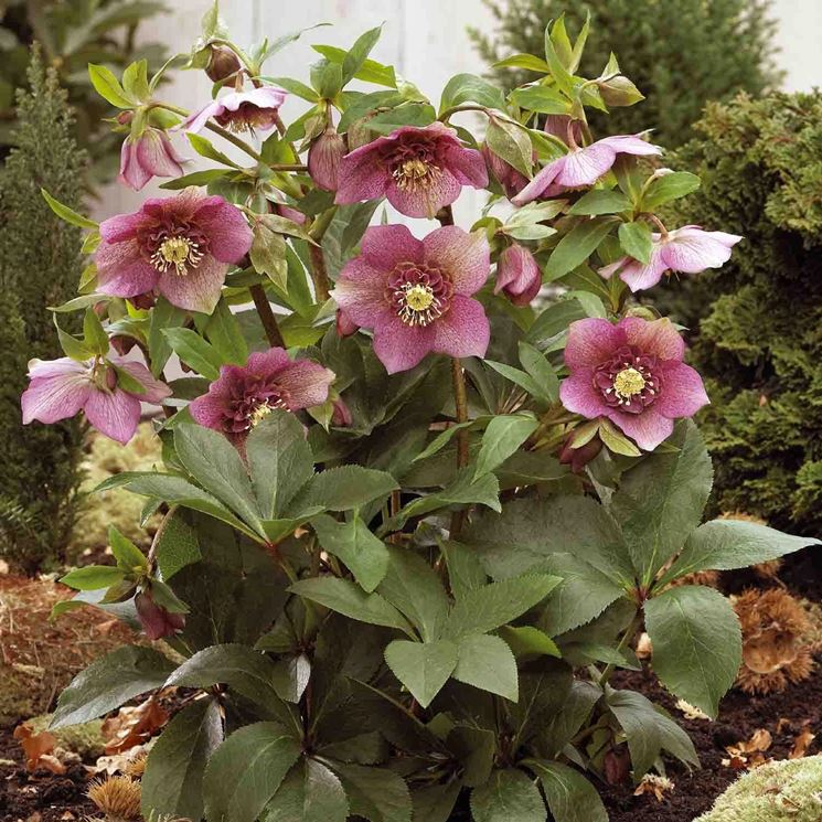 Esemplare di Helleborus fiorito