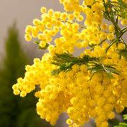 Ramo di pianta di mimosa