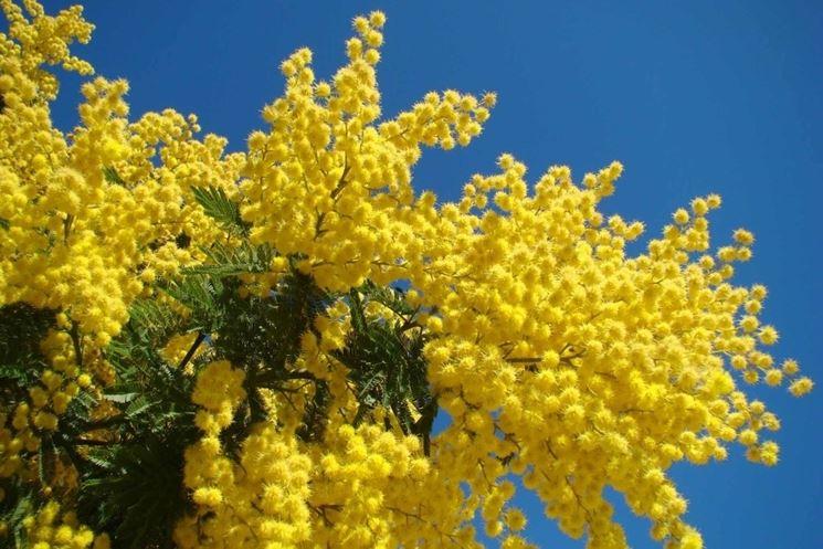 Esemplare di pianta di mimosa