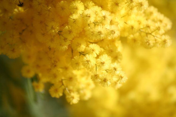 Ramo fiorito di mimosa