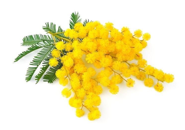 Grappolo di fiori di mimosa