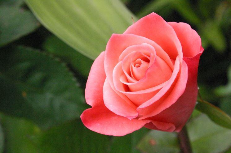 rosa fiori