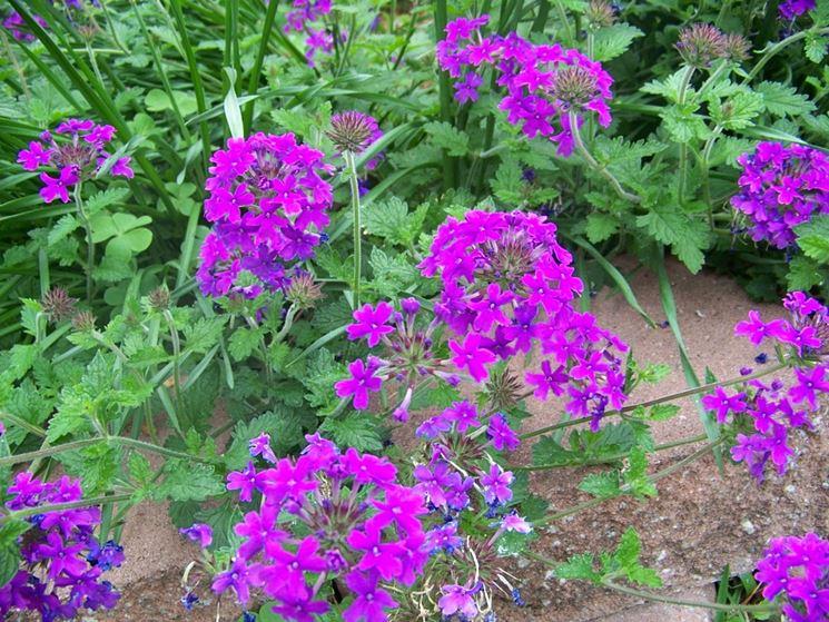 Pianta di verbena fiorita