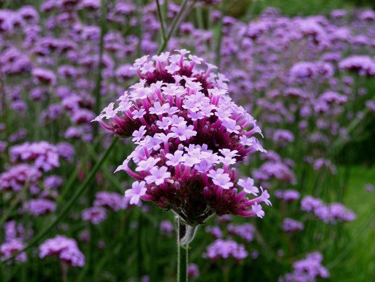 fiori verbena