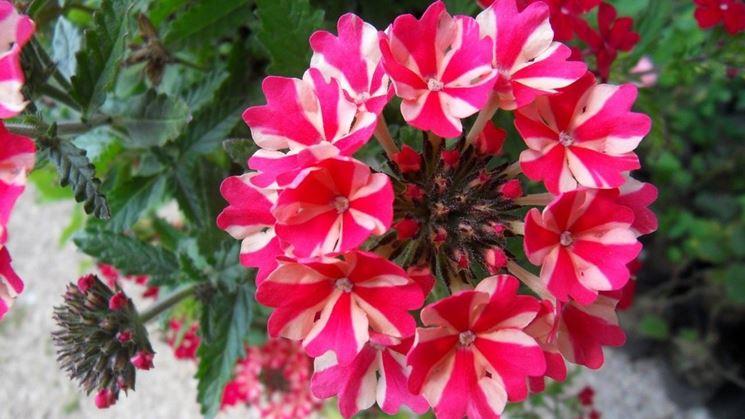 verbena variegata