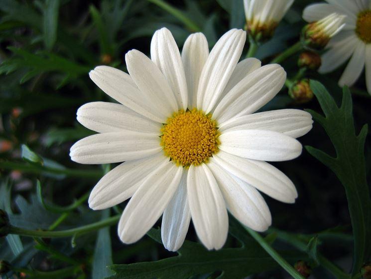 Margherita in piena fioritura