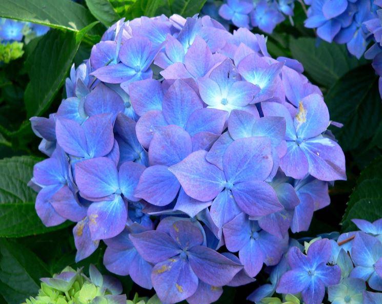 Esemplare di fiore di ortensia