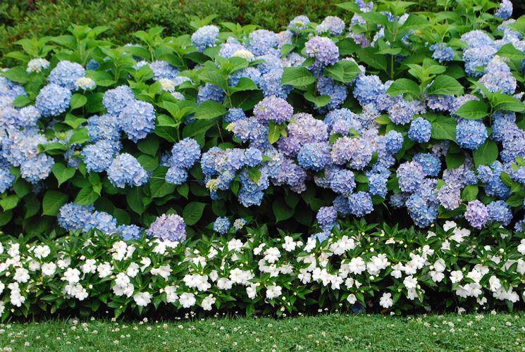 Aiuola di piante di ortensia