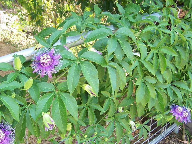 Siepe di Passiflora