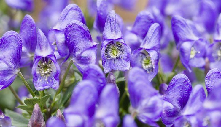 Aconito dai fiori blu