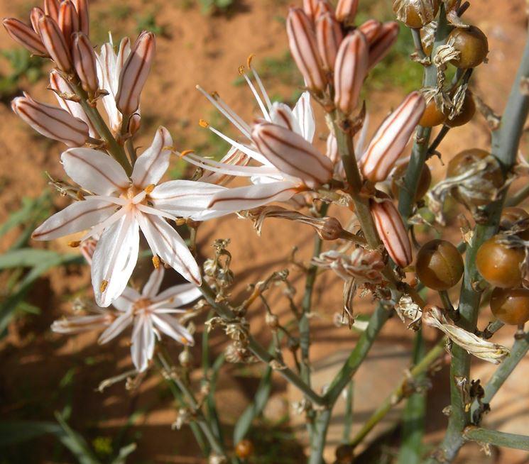 Esemplare di asfodelo fiorito