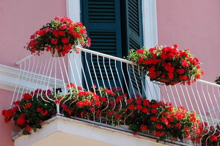 Gerani rossi fioriti