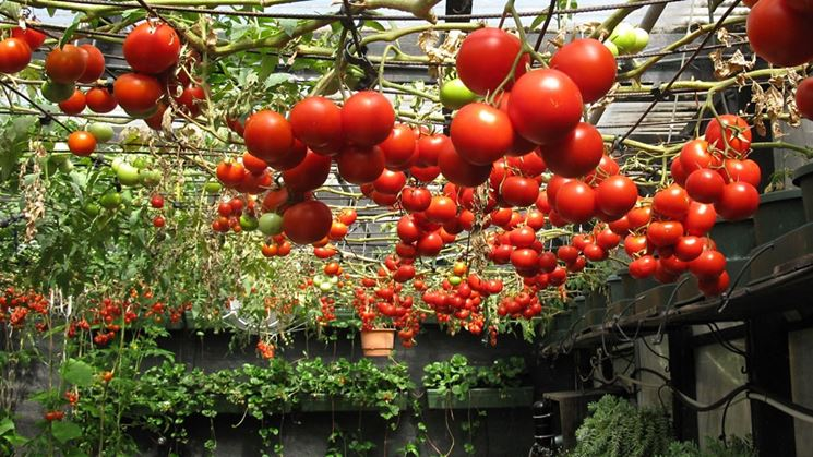 Coltivazione idroponica di pomodori