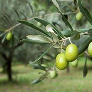 Olive verdi pronte per la raccolta