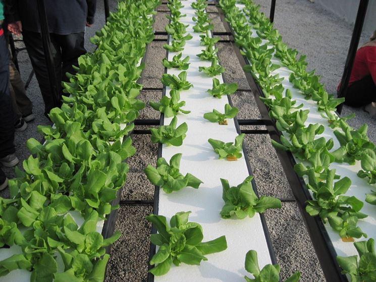 Insalata coltivata senza terra