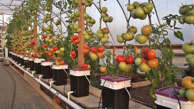 Coltivazione pomodori idroponica