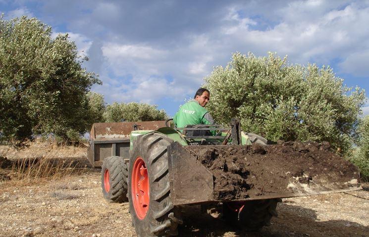 Preparazione del terreno per concimazione olivo