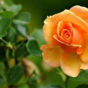 Pianta rosa