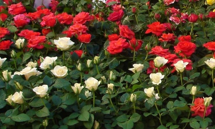 Fiore rose concimate