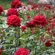 Pianta di rosa fiorita